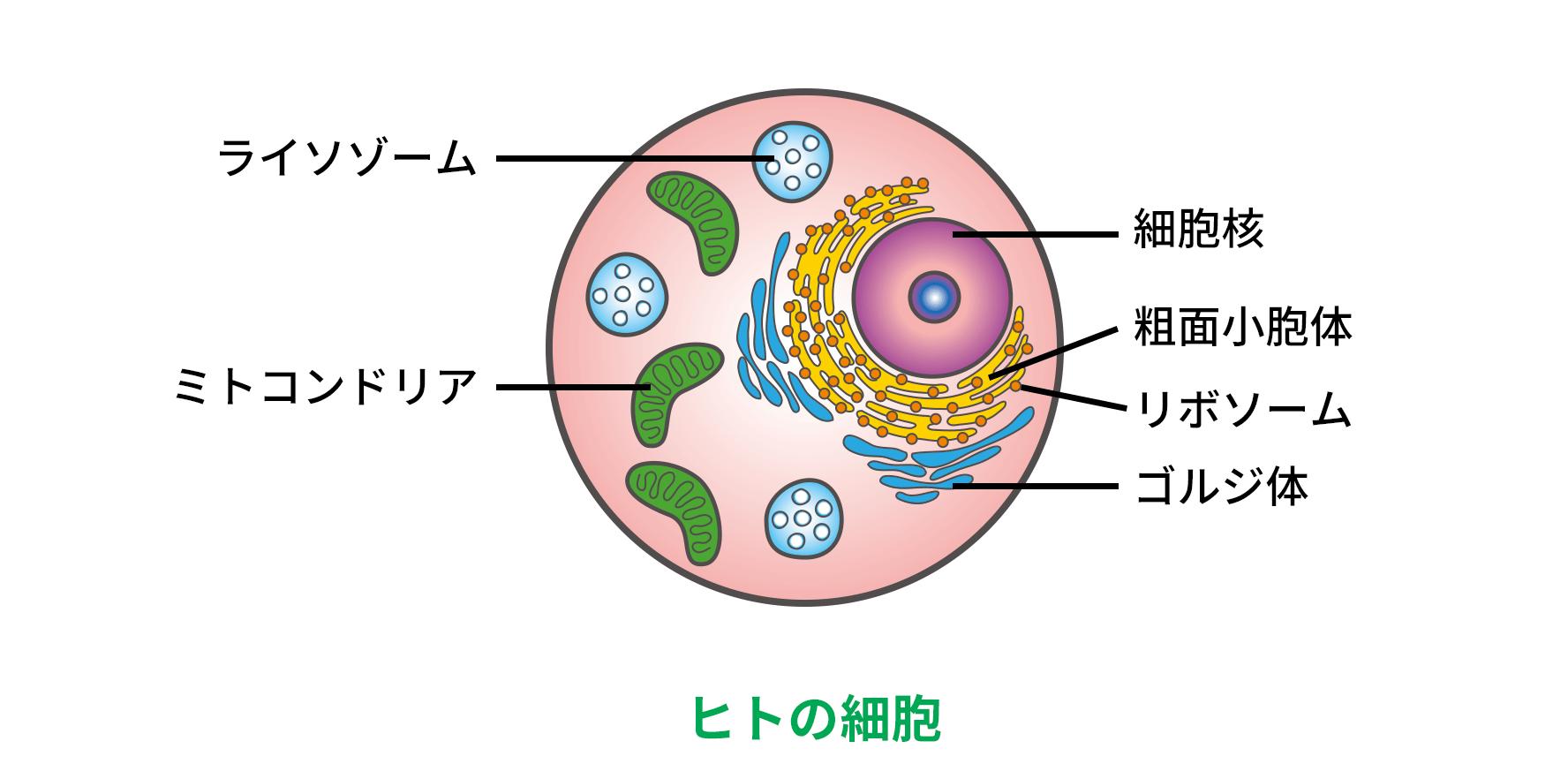 細胞小器官